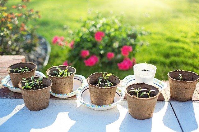mladé klíčící rostlinky